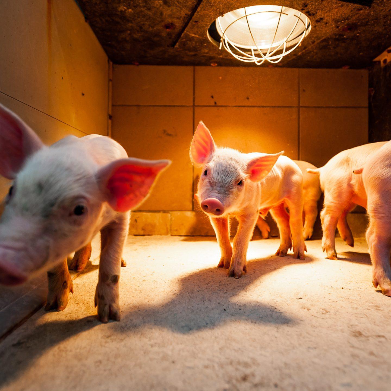 świnka wygrzewająca się w stodole